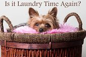 stock photo of yorkie  - Young male yorkie dog laying in a basket of clothes - JPG
