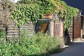 picture of english ivy  - A shed picturesquely overgrown with ivy in the little town Genthin in Saxony - JPG