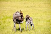 picture of burro  - A mother and baby burro standing in a field of grass - JPG