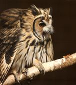 foto of screech-owl  - Portrait of a Mexican Striped Owl screeching - JPG