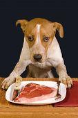 image of heeler  - Dog ready to eat a big juicy steak - JPG