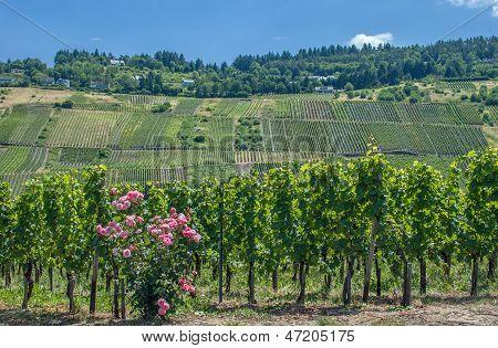 Vineyard at Mosel River,Germany