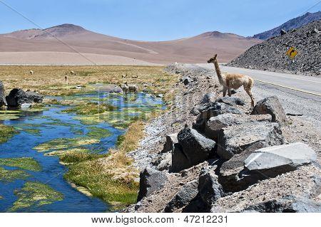 Vicugna in Atacama