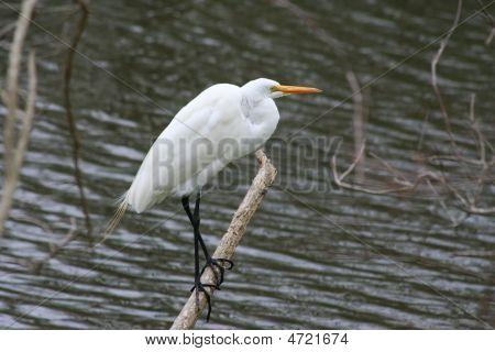Perching Egret