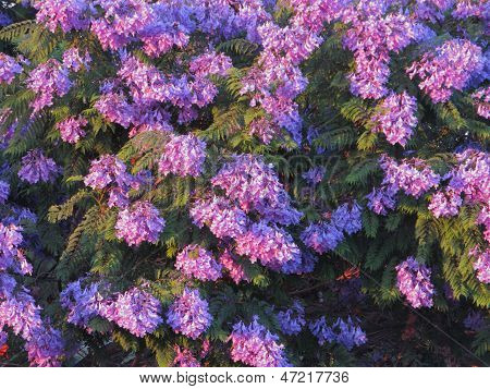 Purple-blue Jacaranda Crown
