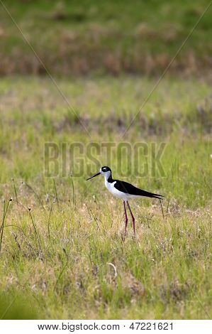 Small Cute Black Necked Stilt.