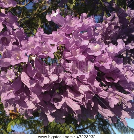 Purple-blue Jacaranda