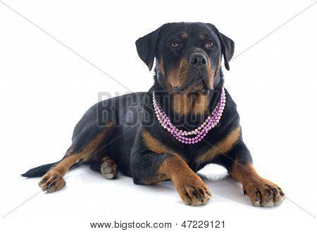Female Rottweiler