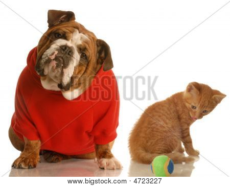 Bulldog In Red Sweater And Kitten With Ball