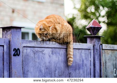 Wary Cat ?? A Fence. Cat Observes Tensely A Dog. Shows House Number - 20