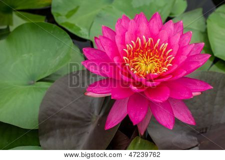 Beautiful Pink Waterlily