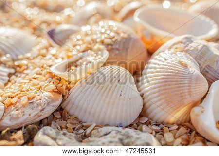Shell Molluscs