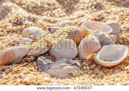 Shell Molluscs In The Sand