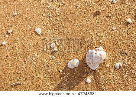 Shell Rapana Venosa On The Beach