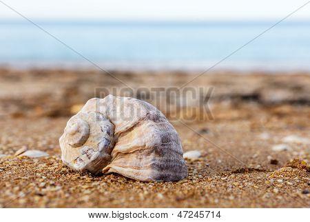 Shell Rapana Against The Sea