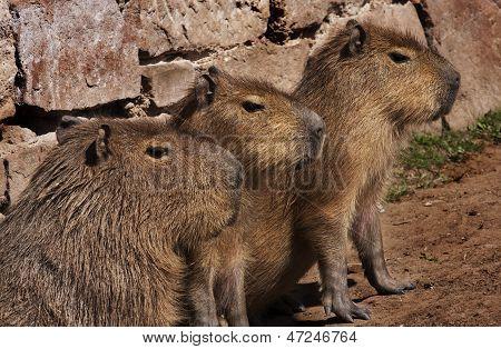 Captivated Capybaras