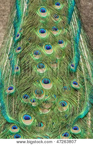 Feather Of Peacock A Tail Part
