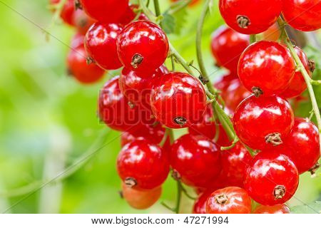 Red Currant On A Branch