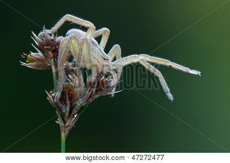 Micrommata Virescens Spider In Nature