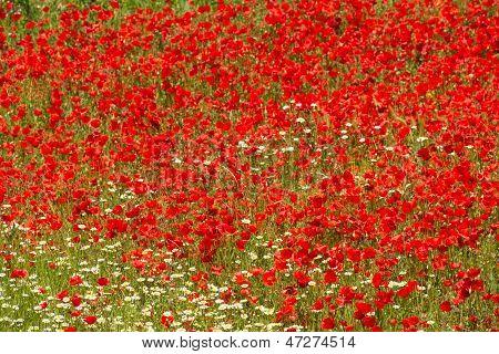 Poppy Field Full Frame
