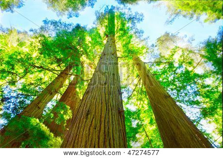 Redwood Grove In North California.