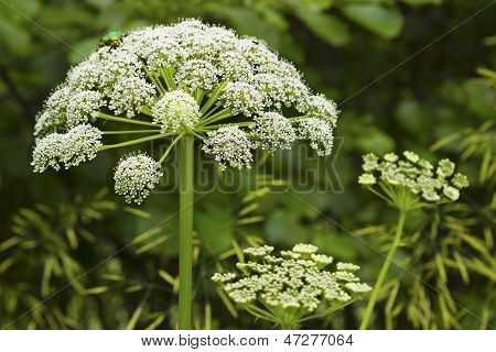 Cuddly Inflorescence Umbrella Plant