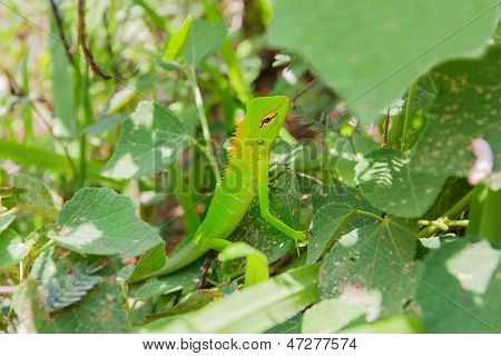 Green Chameleon At Tree Branch In Singharaja Forest In Sri Lanka