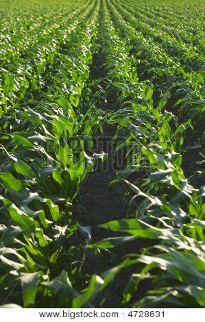 Mais-Feld Zeilen