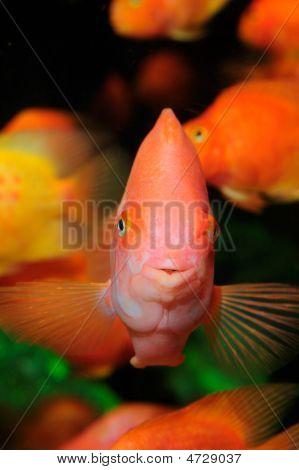 Sangue papagaio Cichlid nadando no aquário.