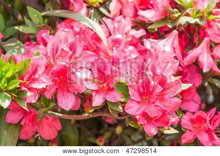 Red Rhododendrons Flower
