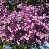 Purple-blue Jacaranda