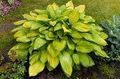 Hosta With Yellow Leaves In The Garden
