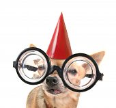 a cute chihuahua with giant glasses and a birthday hat on