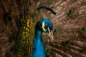 pic of indian peafowl  - The Indian Peafowl or Blue Peafowl - JPG