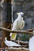 foto of cockatiel  - Cockatiel In Chiangmai Zoo  - JPG