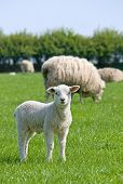 foto of spring lambs  - Lamb standing in a green field looking out of the frame at the viewer with other sheep in the background - JPG