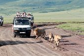 Jeeps With Tourists Traveling On The Road For A Pride Of Lions, Ngorongoro National Park, Tanzania.