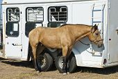pic of buckskin  - A buckskin colored rodeo horse cools off while tied to its trailer - JPG