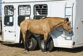 stock photo of buckskin  - A buckskin colored rodeo horse cools off while tied to its trailer - JPG