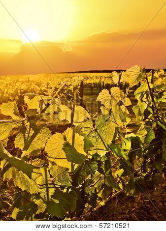 Grapevines lit up by golden light of the sun in vineyard