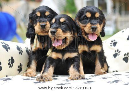 Three Puppies