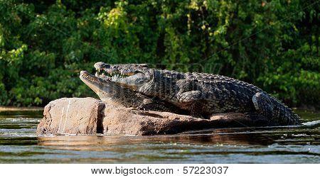Crocodiles (crocodylus Niloticus).