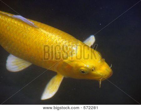 Carp In Pond