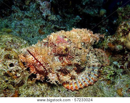 Flathead scorpionfish