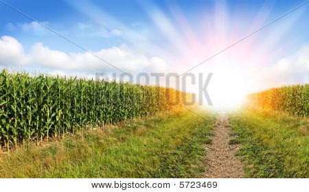 Corn Field And Sunray