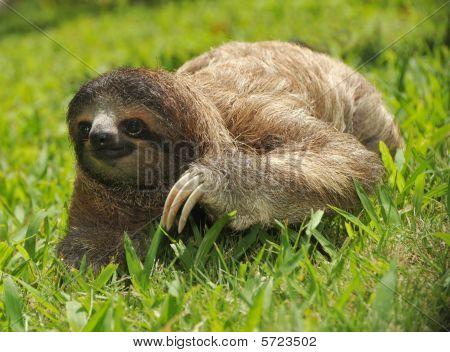 Three Toe  Sloth Cahuita