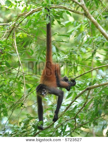 costa rican spider monkey
