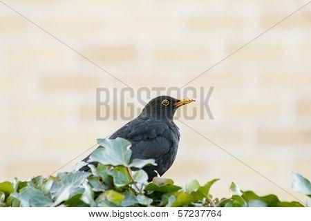 Male Blackbird With Earth On His Beak