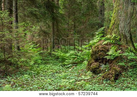 Green Fern Forest With Old Moss Tree