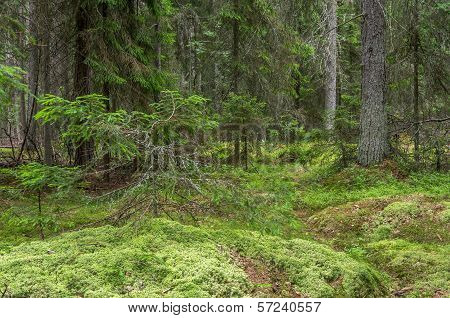 Green Mossy Forest With Dead Tree